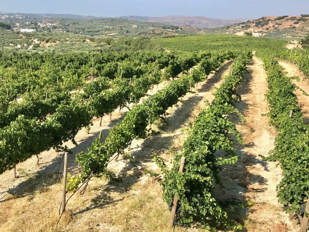 Griekse wijngaard